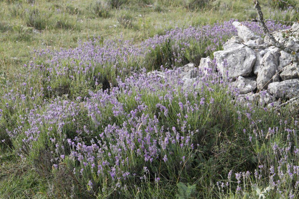 Lavendel © Farfalla Essentials AG