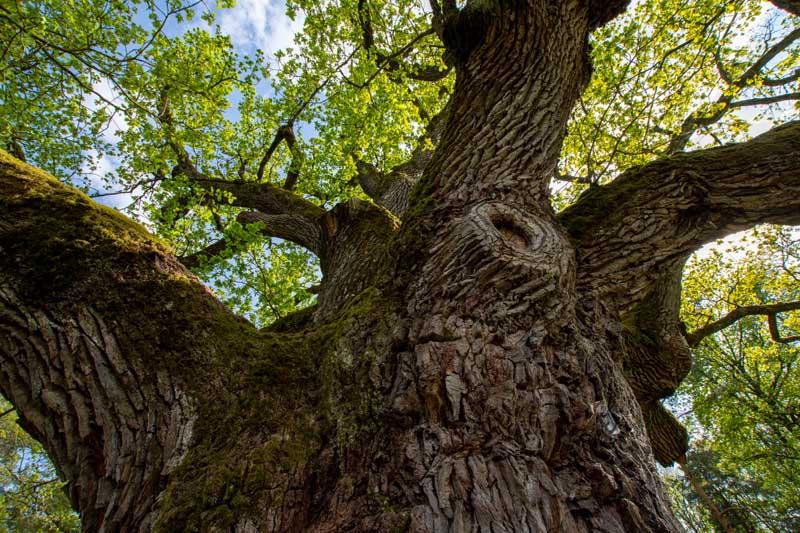 1000jährige Eiche © Bad Blumau C. Thomaser